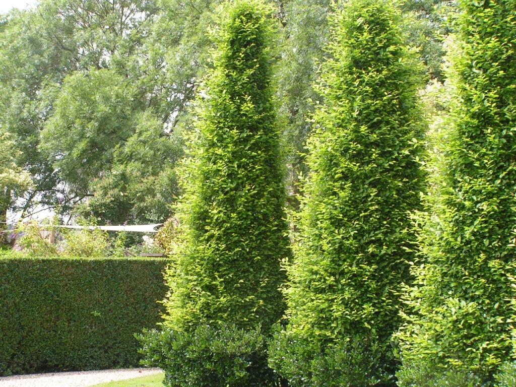 carpinus betulus 39 fastigiata 39 zuil vormen leenderheim. Black Bedroom Furniture Sets. Home Design Ideas