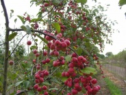 Malus 'Red Sentinel
