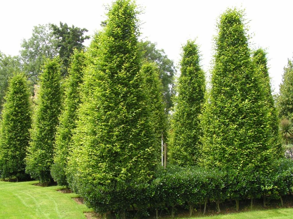carpinus betulus 39 fastigiata 39 zuil vormen leenderheim boomkwekerij. Black Bedroom Furniture Sets. Home Design Ideas